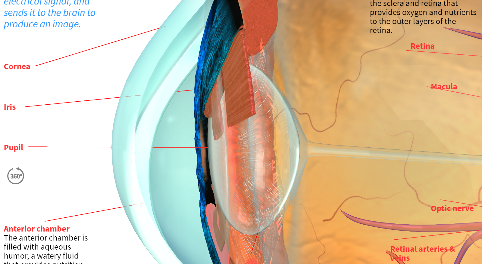 How the Human Eye Works preview